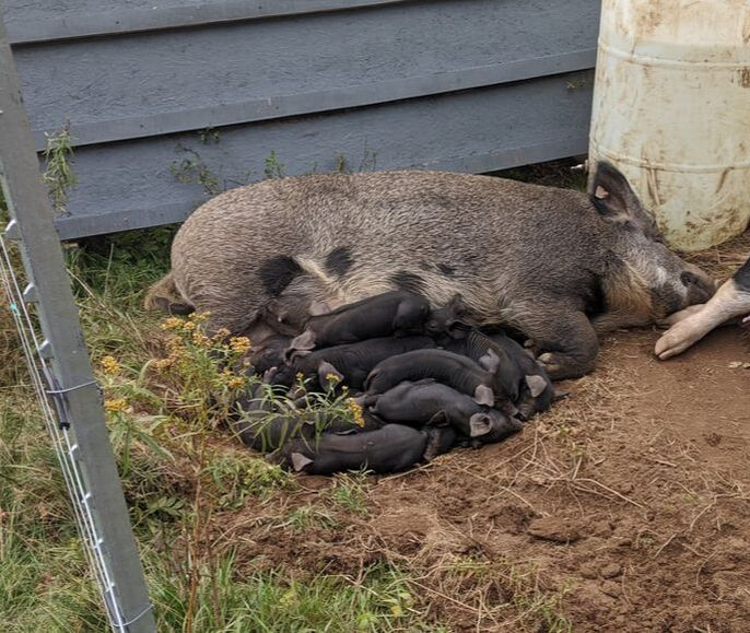 A sleepy pile of piglets with their mom. Or their aunt. No one knows.